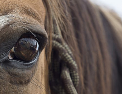 Equine Ophthalmic Emergencies